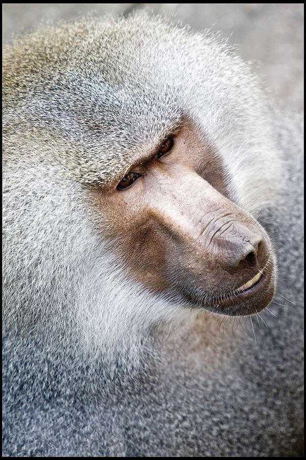 Et nærbillede af en ældre bavian.