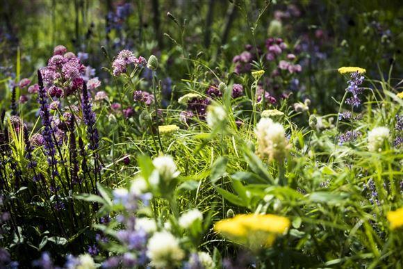 sensommer blomster