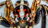 Nærbillede af en brasiliansk vandreedderkop