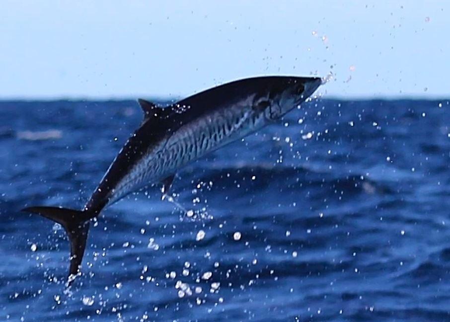 en hoppende makrel