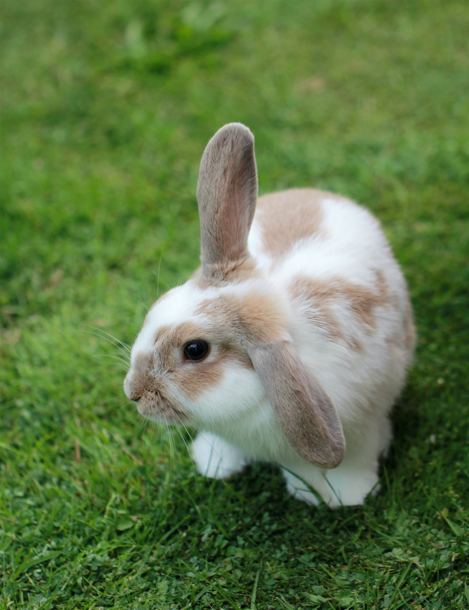 Billede af brun og hvid kanin på en græsplæne