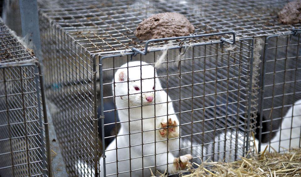 Mink ser ud af sit bur