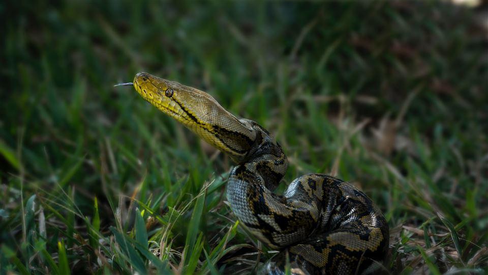 En slange ligger i højt græs. Den har et gulligt ansigt og tungen stikker ud af munden.