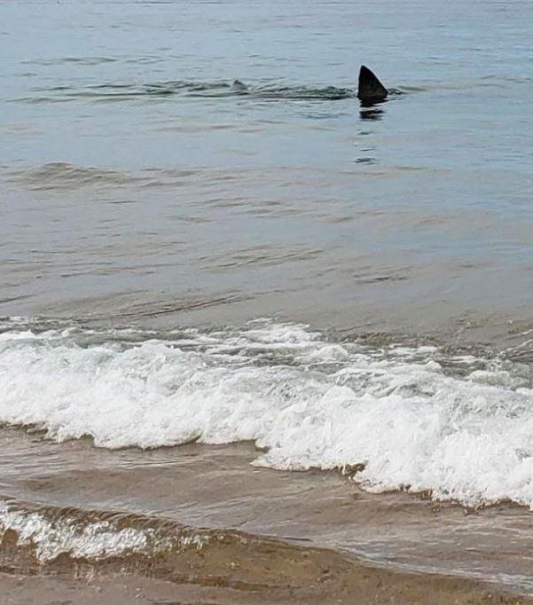 En hajfinne få meter fra kysten