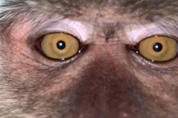 et nærbillede af en abe - som aben selv har taget med en mobiltelefon