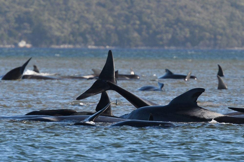 strandede hvaler ved Tasmanien