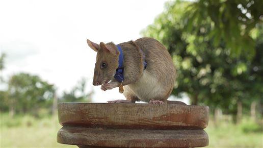 Rotten Magawa sidder på en træstub med en guldmedalje om halsen
