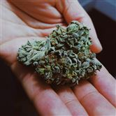 Cannabis-plante i hånd