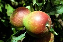 nærbillede af et æbletræ med to æbler på en gren.