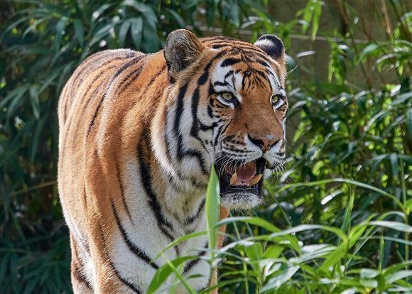 Billede af en stor tiger med gabet åbent