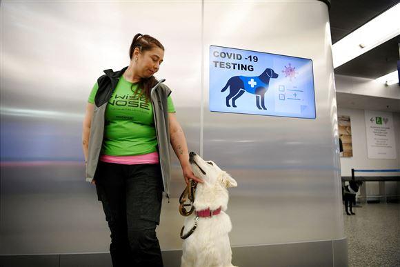 """En sniffer-hund i lufthavnen med sin """"herre"""" en kvindelig hundetræner"""