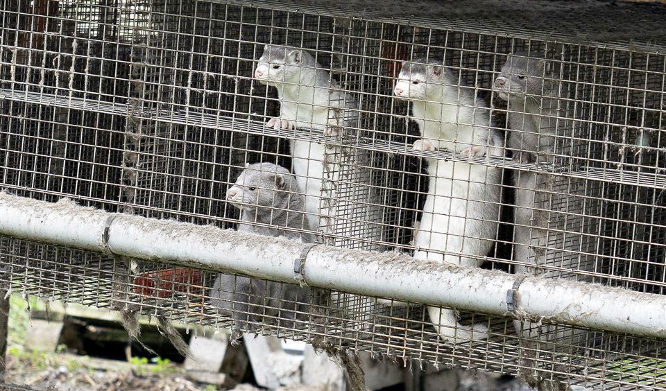 Mink står på bagbenene i bur