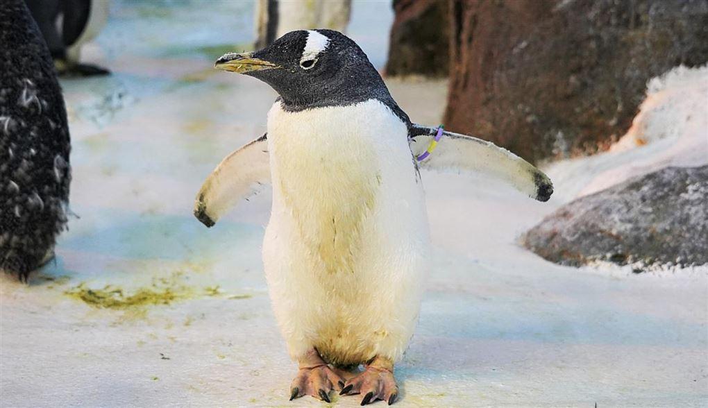 Den 40-årige pingvin Olde breder vingerne ud i Odense Zoo