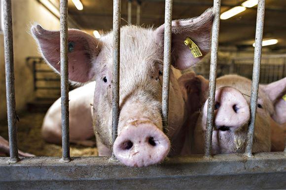 en gris stikker hovedet ud mellem tremmer