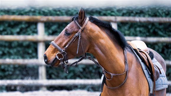 billede af en hest
