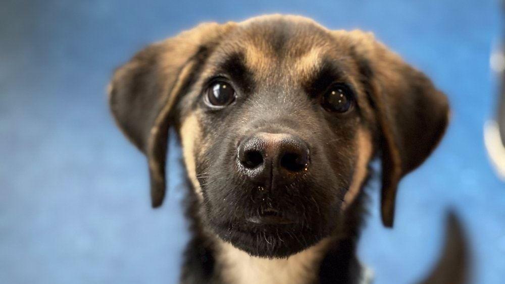 schæferhundehvalp kigger ind i kameraet