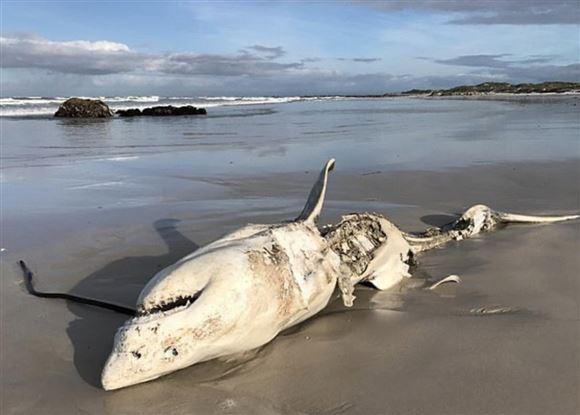 Et skelet af en haj på stranden