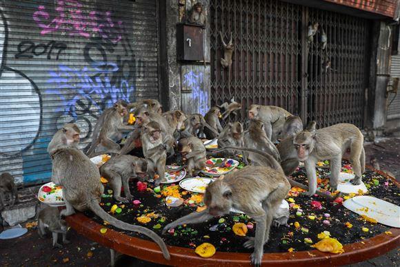 En stor flok aber går amok på et bord fyldt med mad.