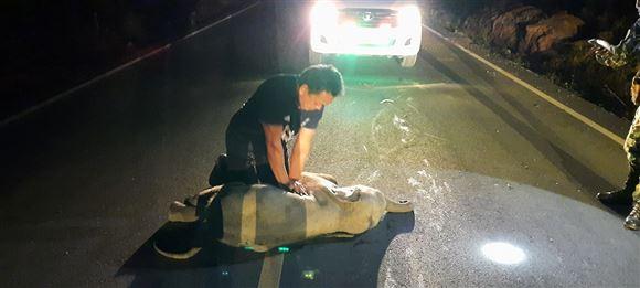 Redderen giver hjertemassage til en elefantunge midt på vejen.