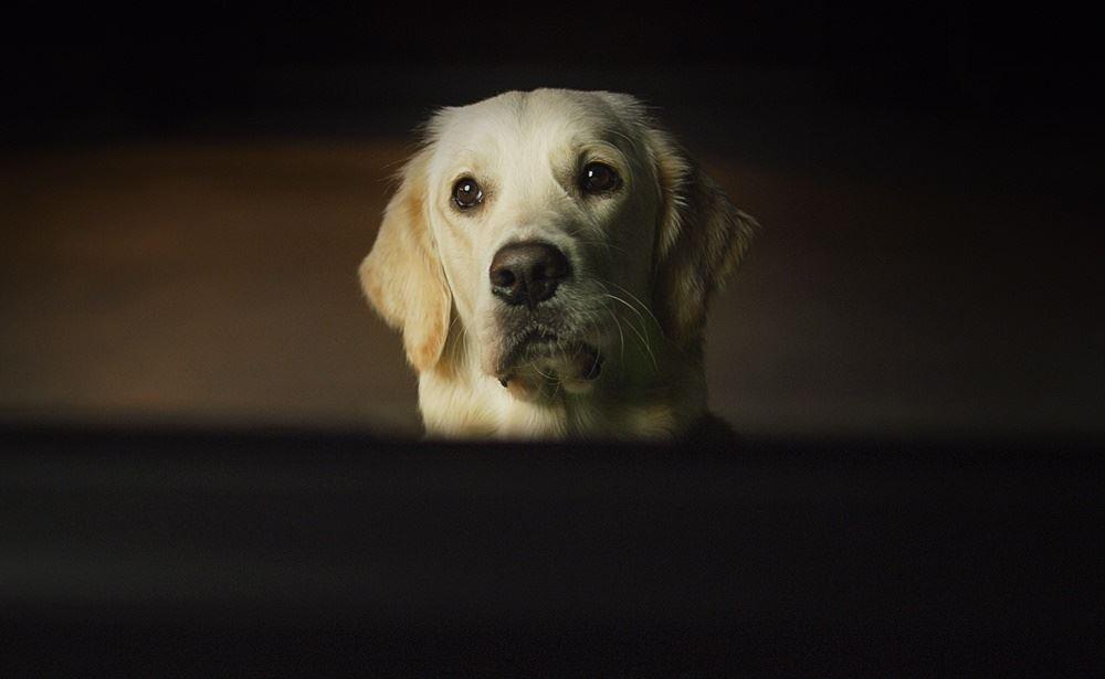 hund kigger på tv