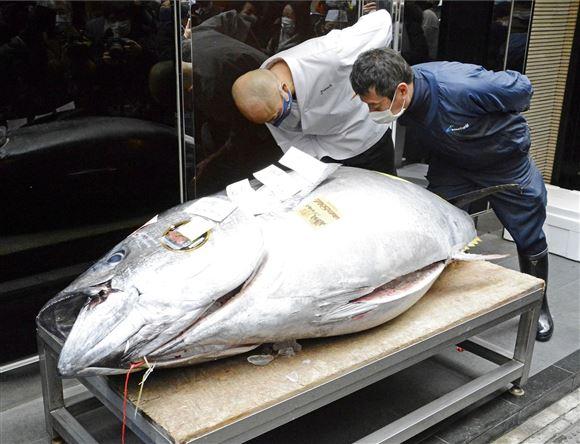 to mænd studerer stor tunfisk på bord