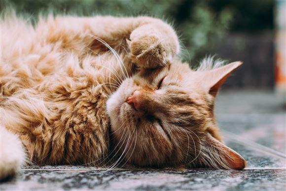 En kat ligger og leger med sin pote