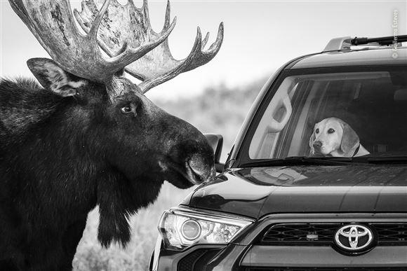 elg kigger ind i bil hvor der sidder en bekymret hund