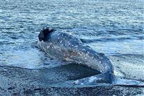 En død hval på en strand