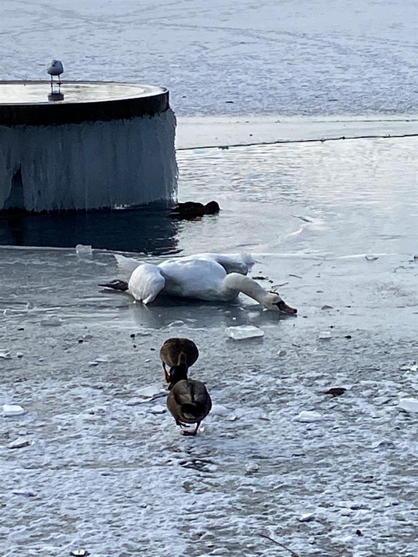 svane ligger på isen