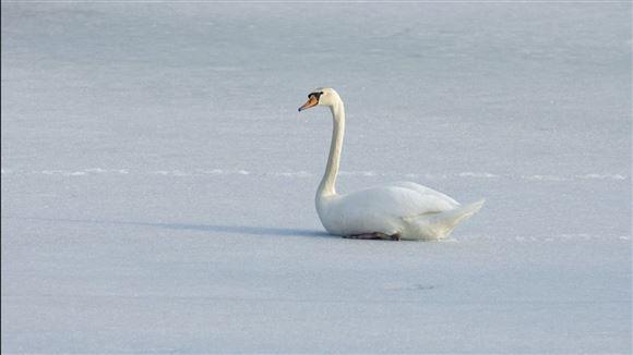 svane sidder på isen