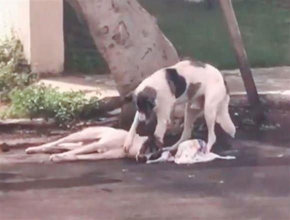 En hund rører ved en anden