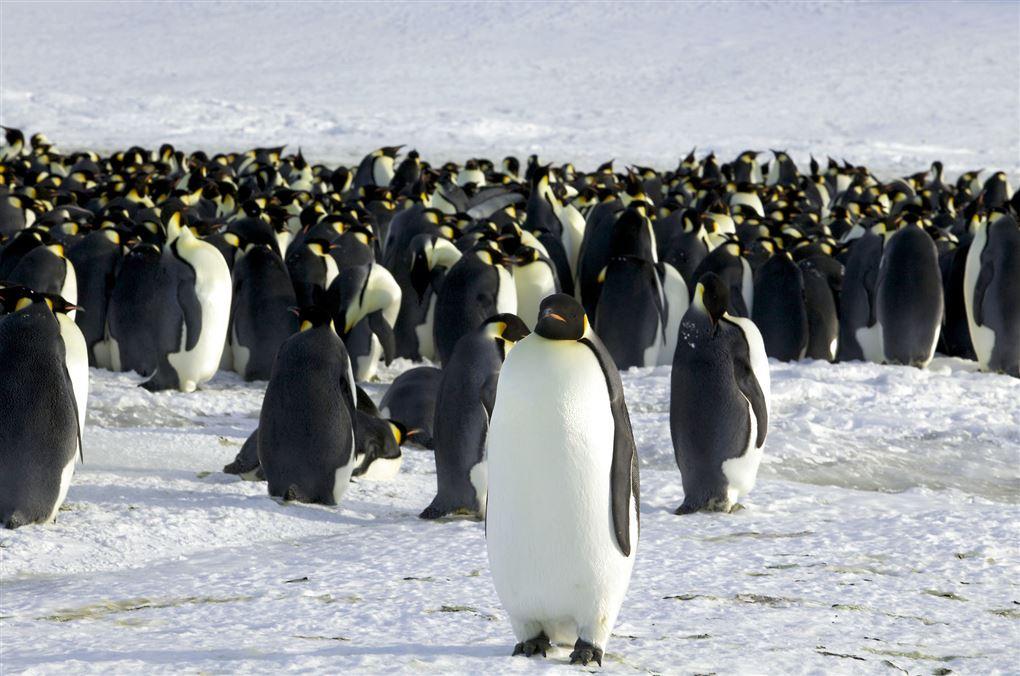 billede af en flok pingviner