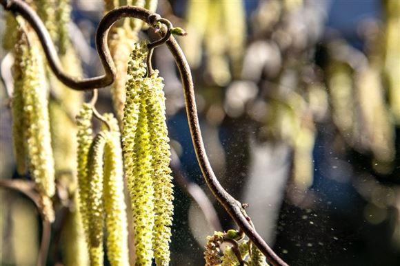 pollen fra hasselbusk