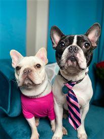 To franske bulldogs.