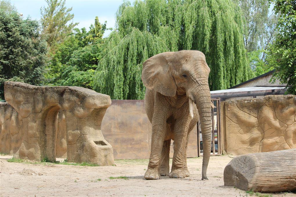 En stor elefant i en compound
