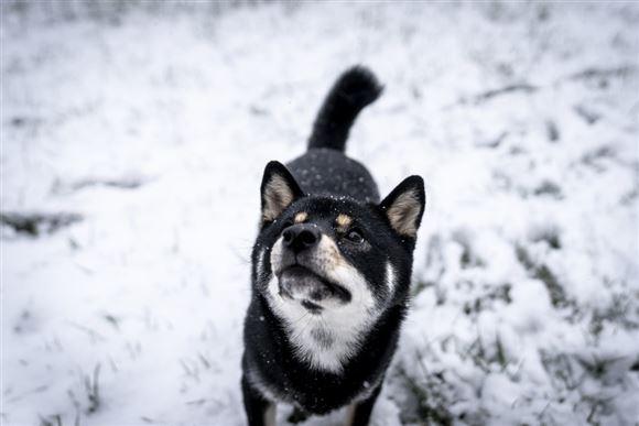 Hund i sneen