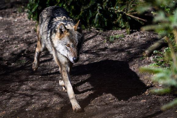 En ulv i en skov