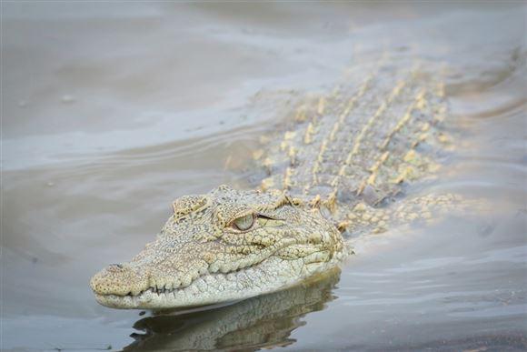 krokodille under vand