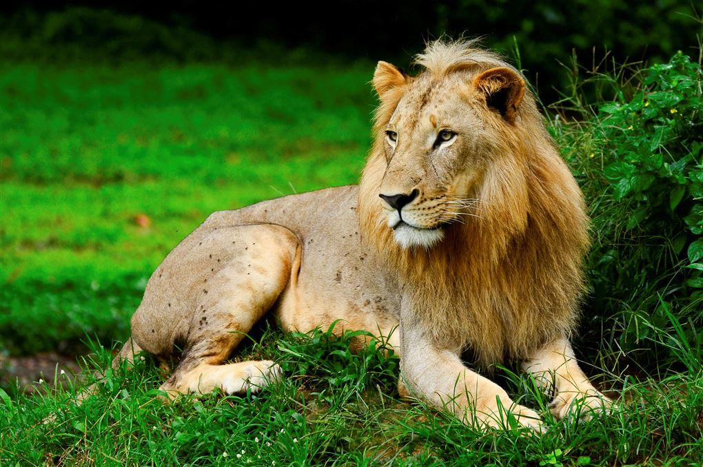 løve ligger på græs
