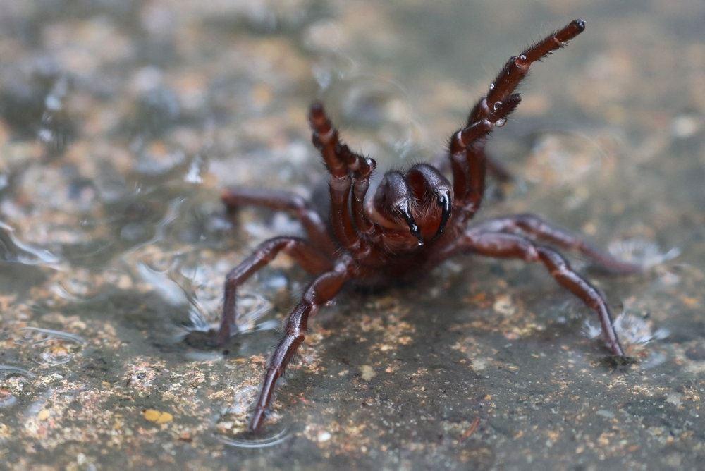 den dødelige edderkop tragtspinderen sidder i vand