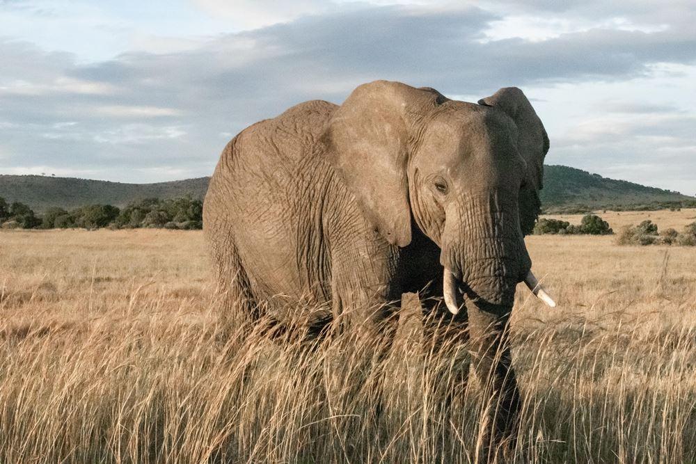 elefant står på savannen i afrika