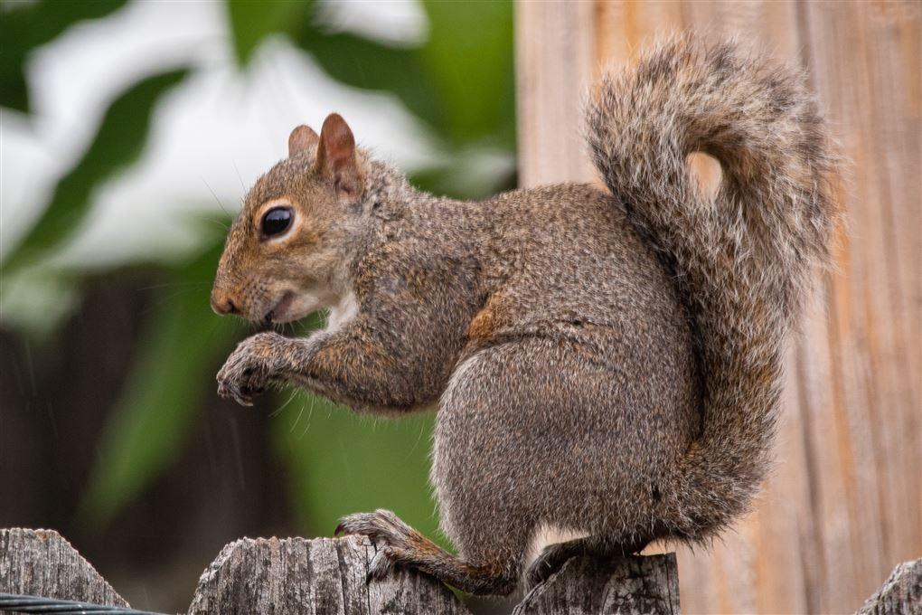Et egerne på et plankeværk