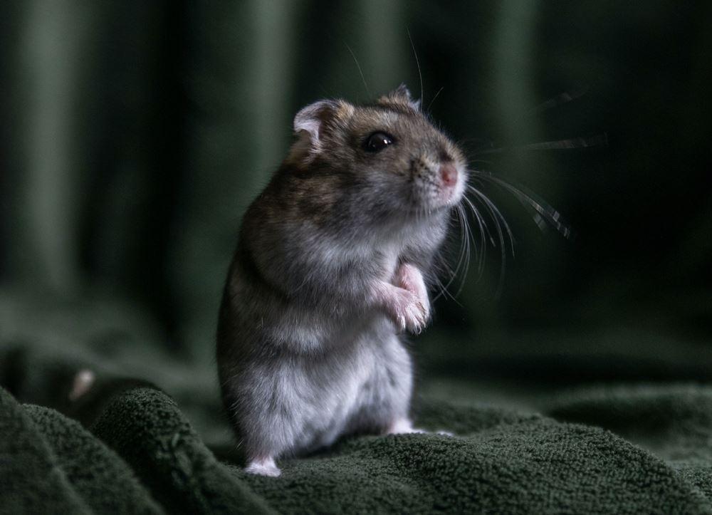mus sidder på bagben