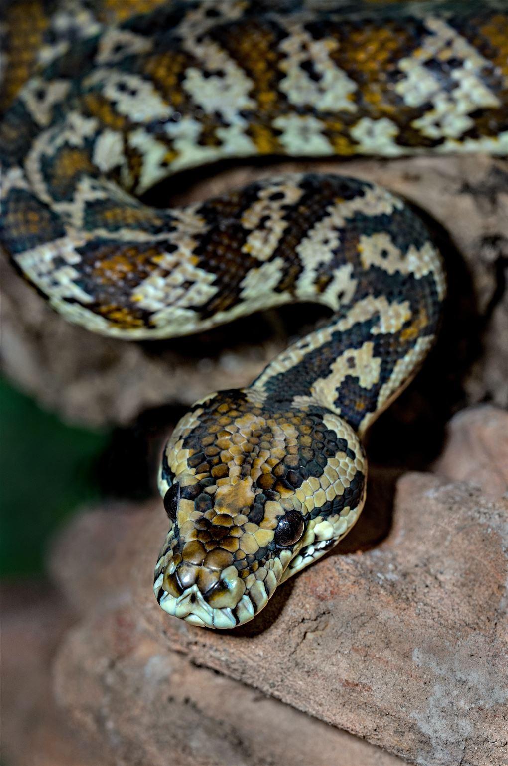 En slange med brune, sorte og beige farver.