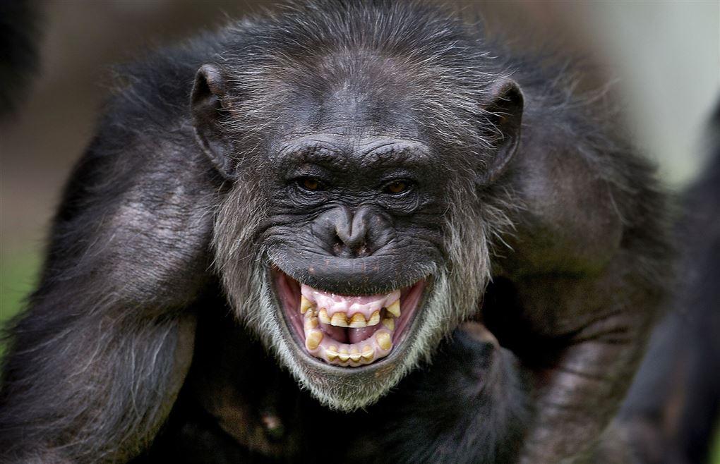 billede af en chimpanse der ser aggressiv ud