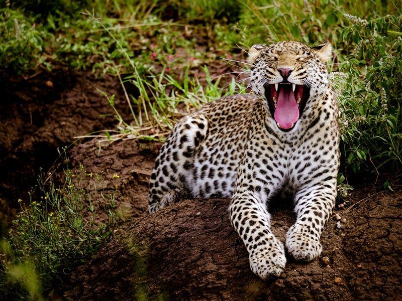 leopard blotter tænderne