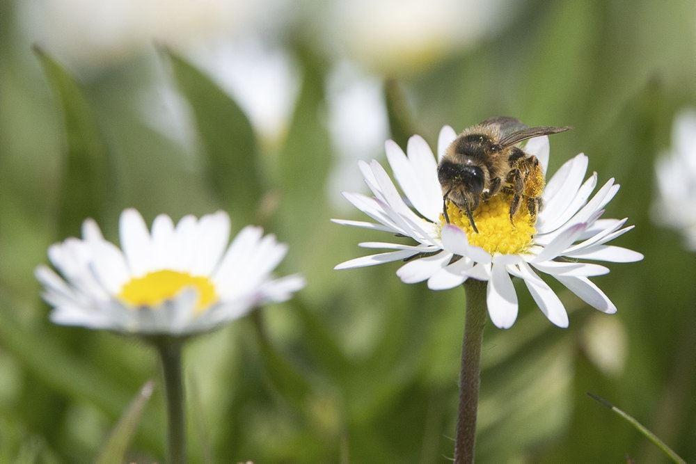 bi sidder på blomst