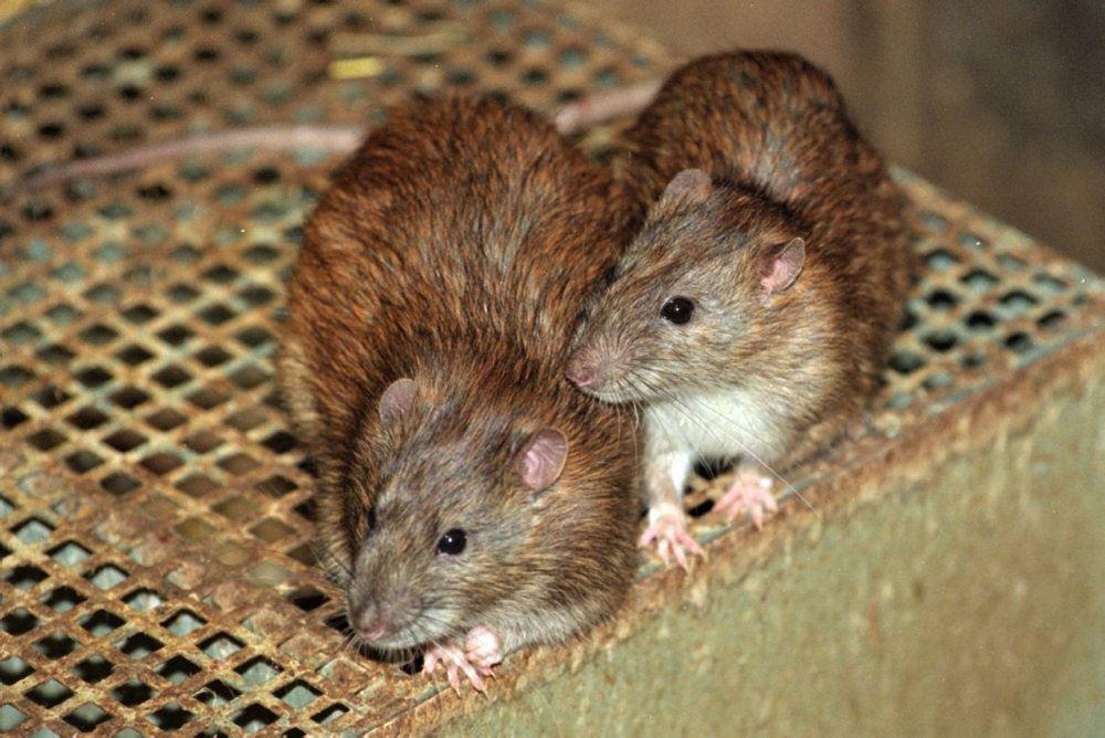 billede af rotter