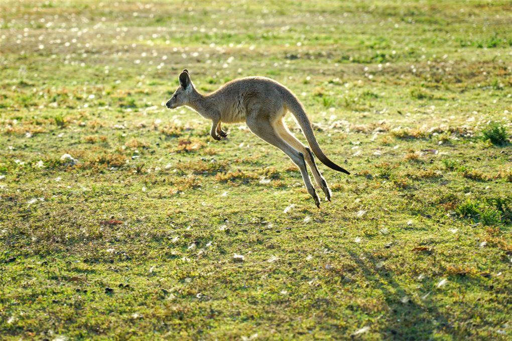 En kænguru hopper