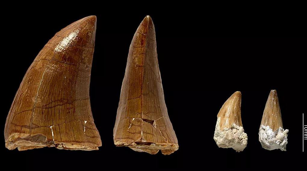 billede af Prognathodons tænder